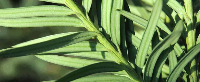 taxus-baccata-blad1
